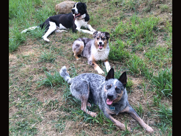 Dog socialization at Blue Dingo Dog Ranch.